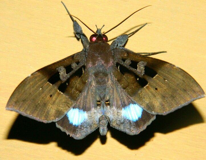 Red-eyed moth