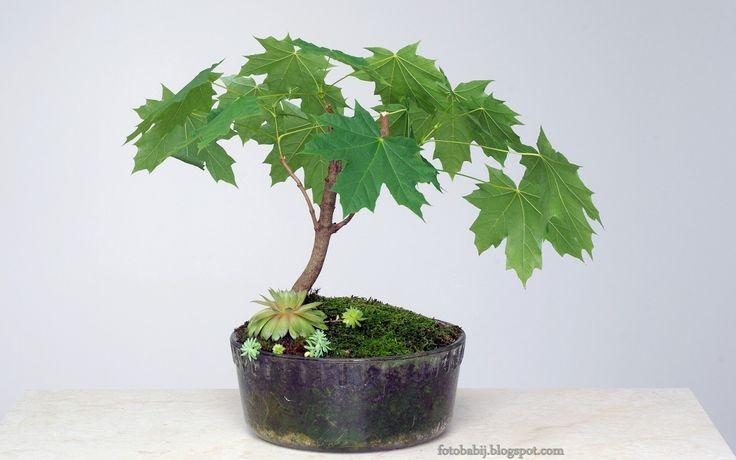 Darmowe zdjęcia, Free Photos : Klonowe bonsai i rojnik w szklanym naczyniu, zdjęc...