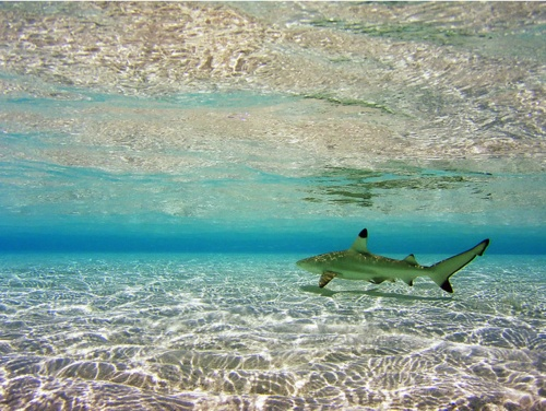 Black Tip Reef Shark (Carcharhinus melanopterus)