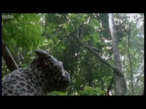 Different types of monkey (West African) have distinct calls to warn their troop members of an invading big cat predator. David Attenborough reveals their hidden behaviours with a stuffed toy. From BBC's Life of Mammals. (2:07)