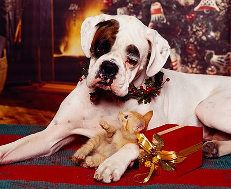 DOK 04 RK0056 04 © Kimball Stock Boxer Laying With Christmas Reef Collar With Orange Kitten Playing In Between Legs Christmas Setting