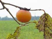 Picture of single persimmon on a branch - backlit