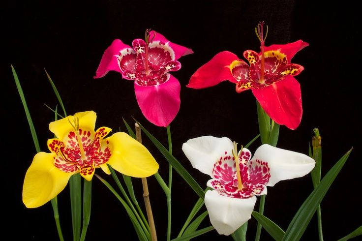 Tigridia, tiger flowers