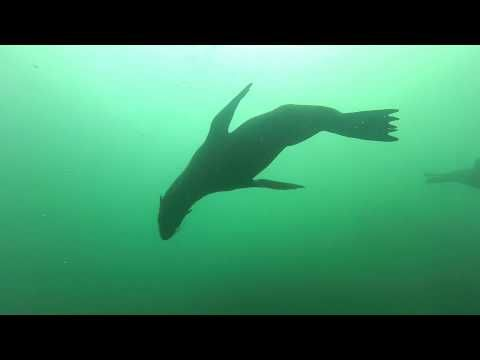 Adrenalised Diving Seals & Sevengill Cow Sharks Dive