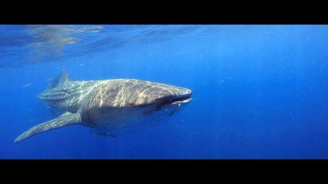 NOUVELLE VIDÉO Full HD ✅ #Mexique - Plongée avec des #requins #baleine de 8 mètres ! Plus de #vidéos de #plongée sous-marine et d'#apnée sur → www.Plongeurs.TV