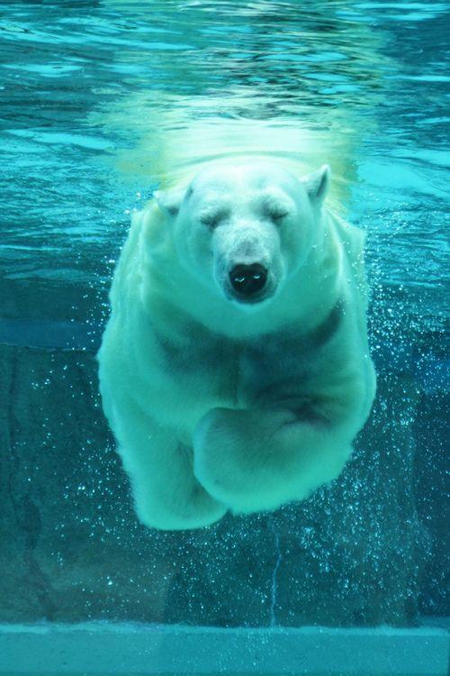 Polar bear swimming in ocean - photo#43