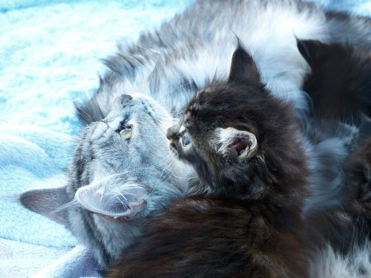 Main Coon Kitten Pictures - Submit Your High res and 4K Cat Pictures to our Breeds Picture Directory at CBWP