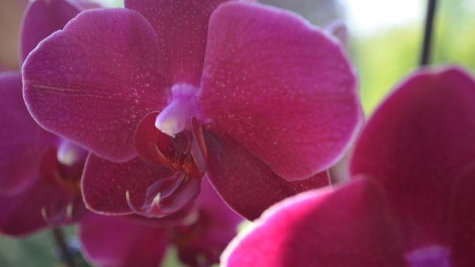 Üppiger Wachstum bei Orchideen und Zimmerpflanzen mit Regenwasser und etwas Orchideendünger.