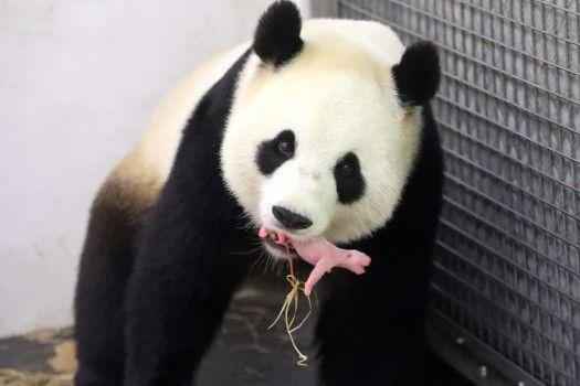 Da rosa a gigante bianco e nero: mamma panda Hao Hao presenta al mondo il suo cucciolo appena nato nel giardino zoologico Pairi Daza, in Belgio.
