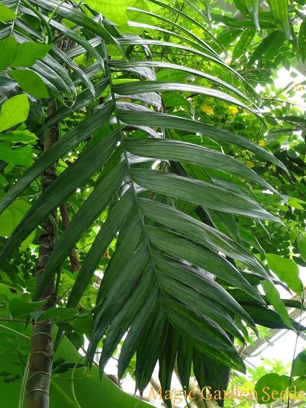 Die Betelpalme, auch als Betelnuss bezeichnet, ist als ein Liebeskraut bekannt. Areca catechu - Samen jetzt  bei Magic Garden Seeds entdecken.