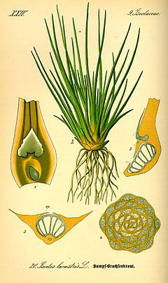 """Quillworts: Isoetes; Family: Isoetaceae, Order: Isoetales, Class: Isoetopsida, Division: Lycopodiophyta, Kingdom: Plantae; genus of plants considered """"fern allies""""; about 140-150 species with a cosmopolitan distribution but often scarce to rare; mostly aquatic or semi-aquatic in clear ponds and slow-moving streams"""