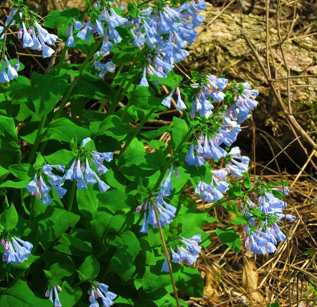 Va Native Plant Society: 210 Best Images About Wild Flowers On Pinterest