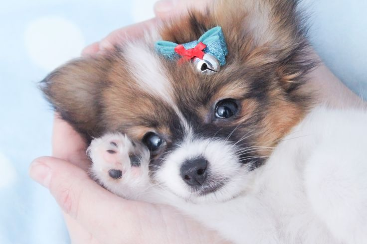 Cute Little Papillon Puppy - Aww!