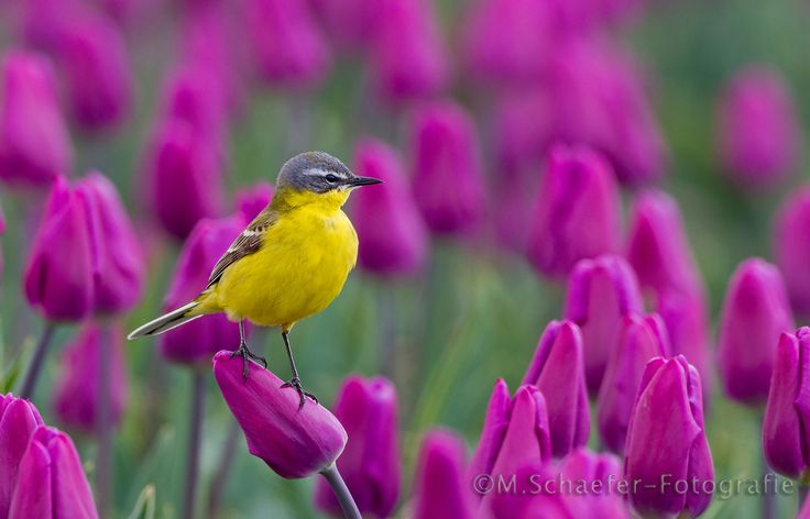 Yellow Wagtail by Menno Schaefer on 500px