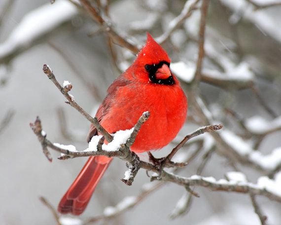 Cardinal Photos  Winter Scenes by StevesPhotos