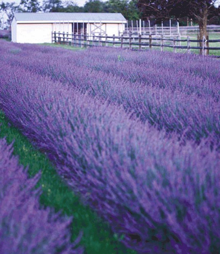 Inspirational Lavendel uPhenomenal u jetzt kaufen bei BALDUR Garten In der Kategorie Duftstauden finden Sie Lavendel uPhenomenal u und weitere Angebote