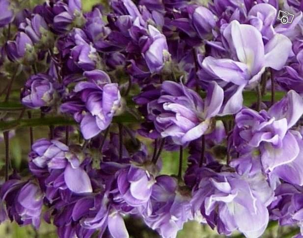 22 best fleurs grimpantes images on pinterest gardening plants and beautiful flowers. Black Bedroom Furniture Sets. Home Design Ideas
