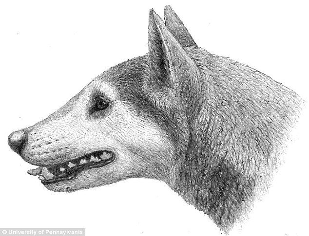 Palaeontolgists have identified a previously unknown species of 'bone-crushing' dog while excavating cliffs in Maryland. This coyote-sized dog (illustrated) was a member of the extinct subfamily Borophaginae, commonly known as bone-crushing dogs because of their powerful jaws and broad teeth