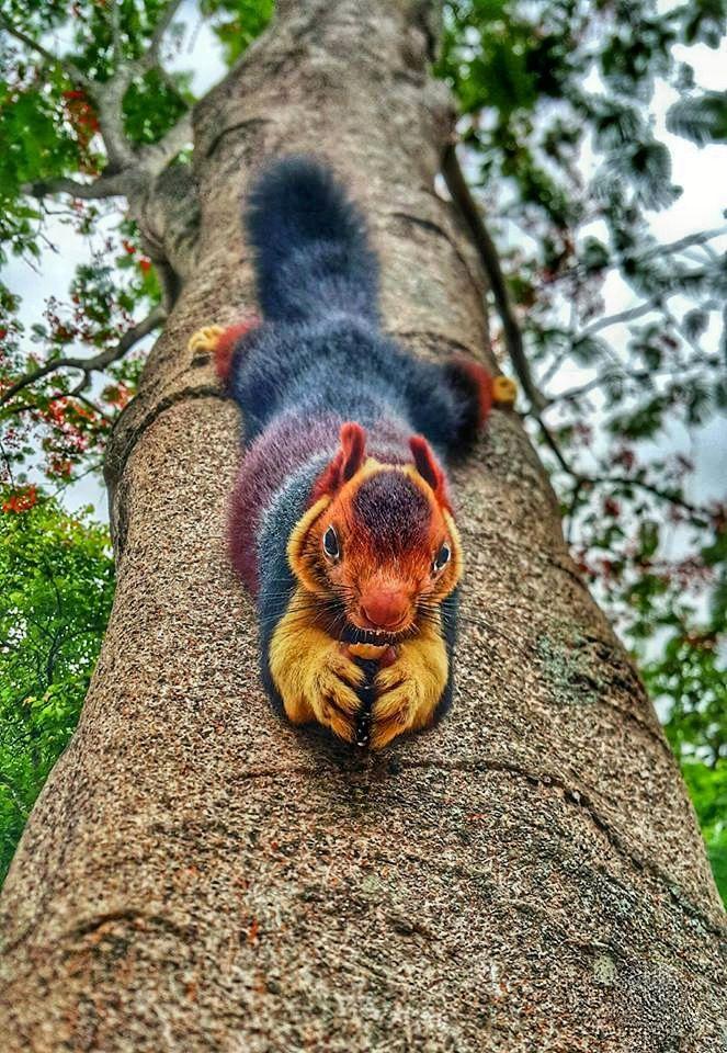 Avantgardens. Indian giant squirrel (Ratufa indica) in