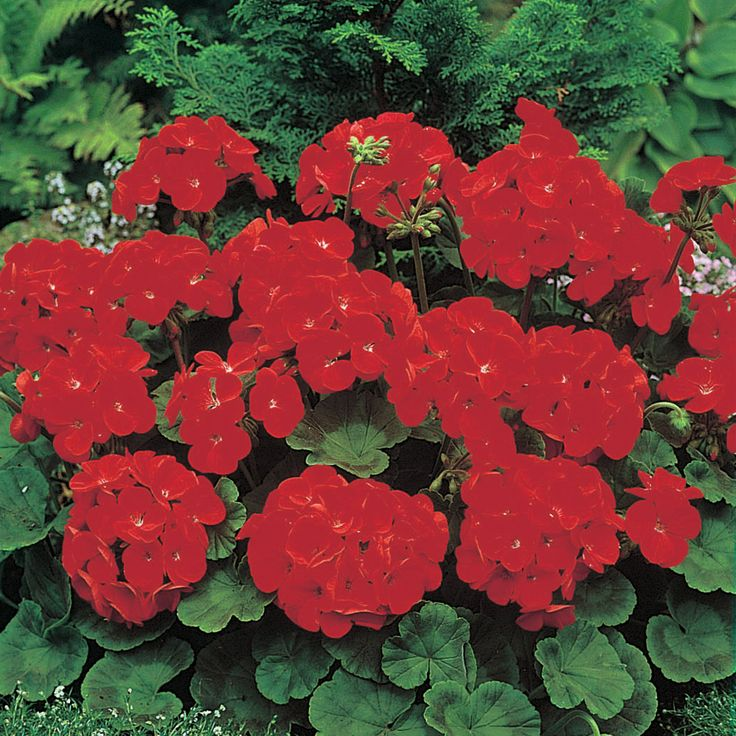 Geranium 'Moulin Rouge' F1 Hybrid - Perennial & Biennial Seeds - Thompson…