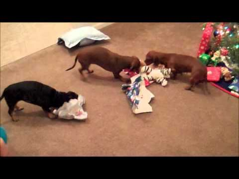 3 wiener dogs all opening christmas presents