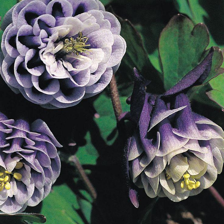 Aquilegia vulgaris 'William Guinness' (Large Plant) Columbine, Granny's Bonnet, Aquilegia 'Magpie'