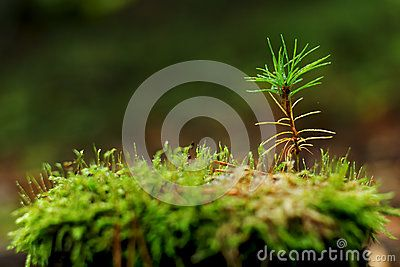Young pine tree growing on stump in summer forest