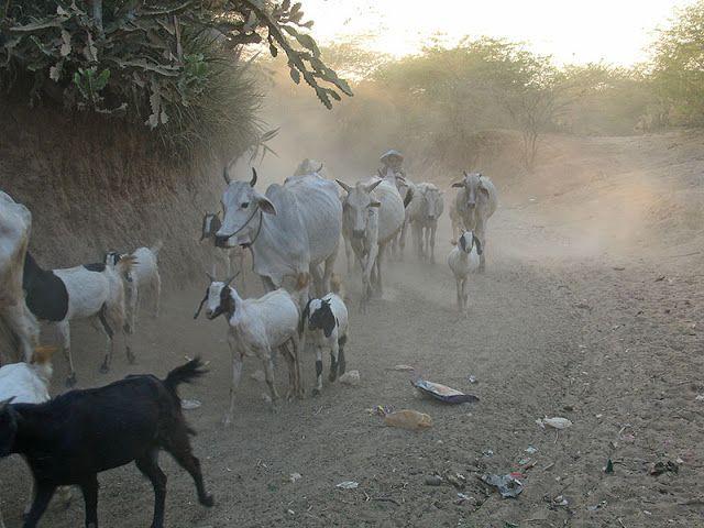 Troupeau de vaches et de chèvres dans le lit asséché d'une rivière près de Bagan (Myanmar)