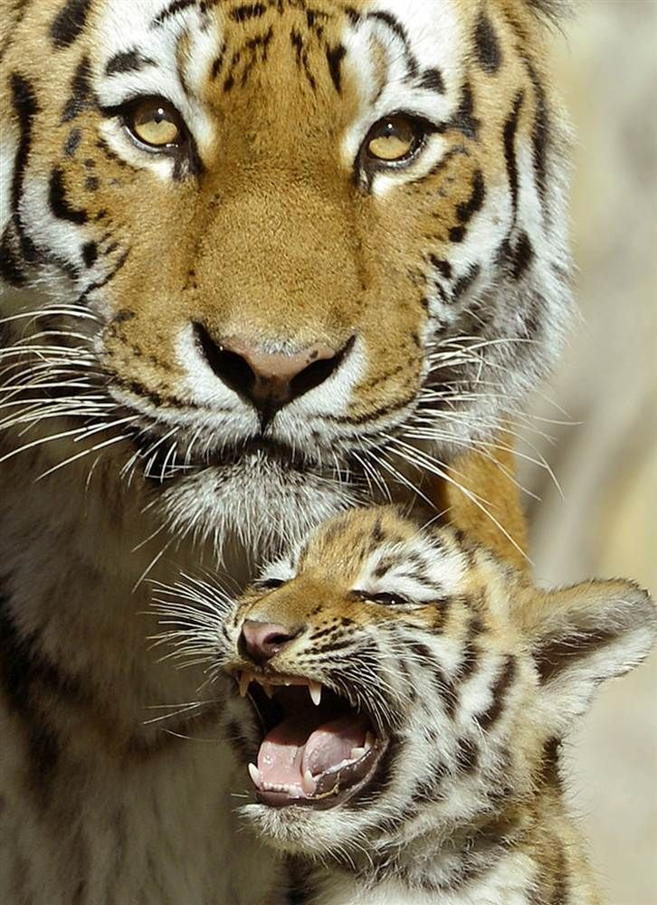 Crying Baby (Amur Tiger Cub with his Mother) | Amazing ...