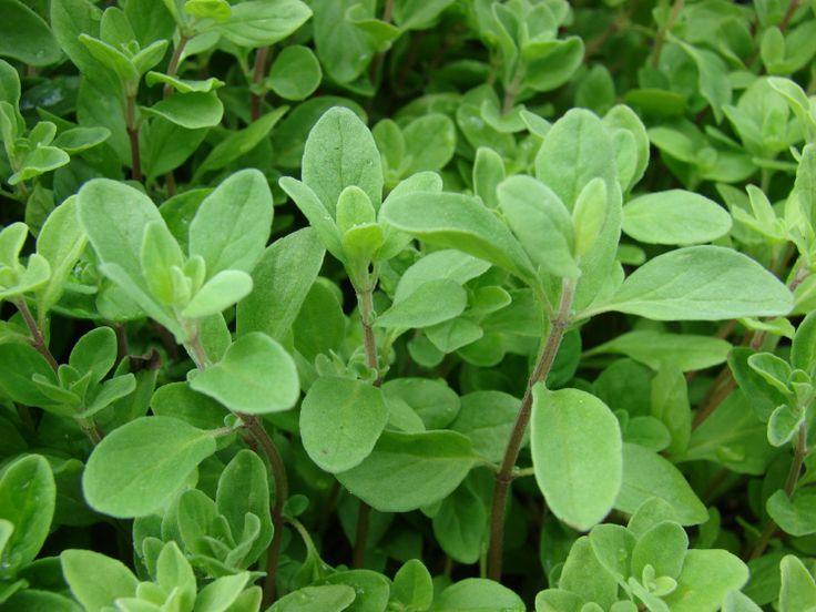 "Sweet Marjoram Plant - Two (2) Live Plants - Not Seeds -Each 4""-7"" Tall- In 3.5 Inch Pot. #herbs #plant"