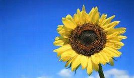 zonnebloem - Bing Afbeeldingen