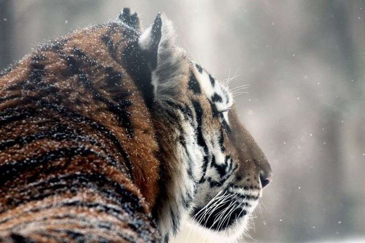 stuffidraw: tigers in the snow at the milwaukee county zoo by tigersareforever