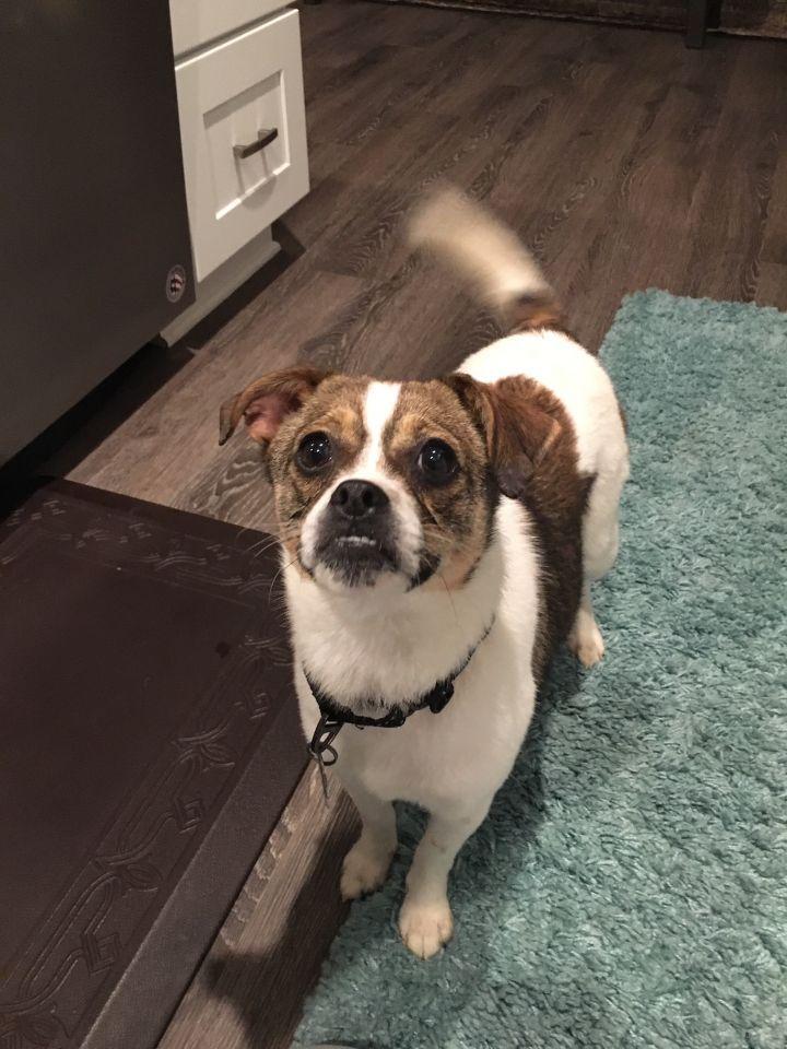 Adopt Shortcake On Pug Beagle Puggle Puppies Pug Beagle Mix