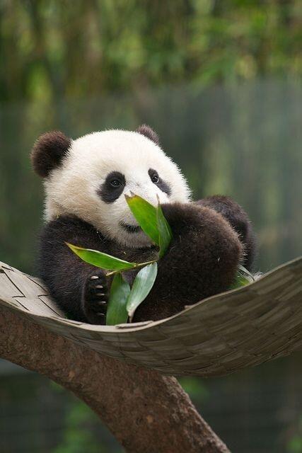 Hammock for baby panda @Planet Earth