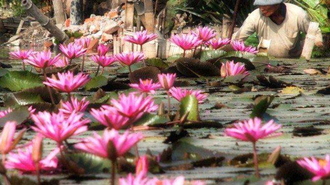 Gambar Bagian Bunga Teratai Fenomena Langka Teratai Raksasa Mekar Setelah 10 Tahun Viva Khasiat Bunga Teratai Salju Untuk Bunga Teratai Bunga Menanam Bunga