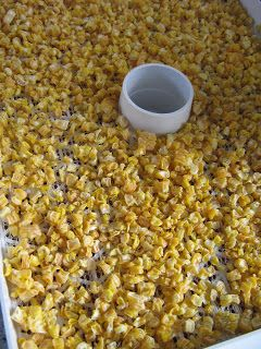 Welcome to the Madness: Food Storage Friday - Dehydrating Corn