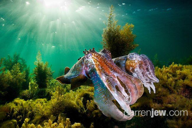 Australian Giant Cuttlefish, Spencer Gulf, Whyalla, South Australia,