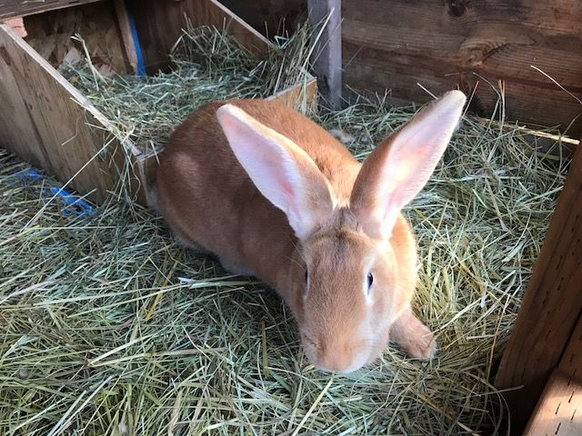 Fawn Flemish Giant Kits Available Throughout Year Www Willamettevalleyrabbitry Com We Ship World Wide Flemish Giant Bunny Care Vintage Bunny