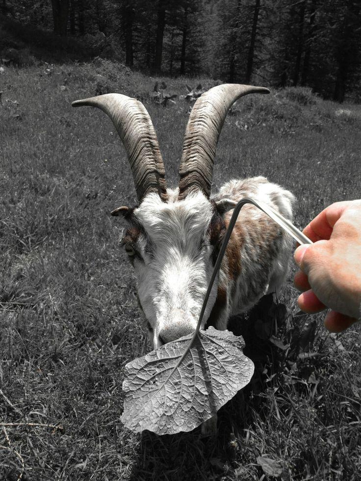 #levi #goat #capra del #levi #lol
