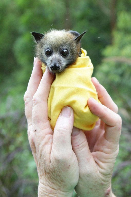 It's parents might be the stuff of horror films, but this baby bat is a real sweetie.
