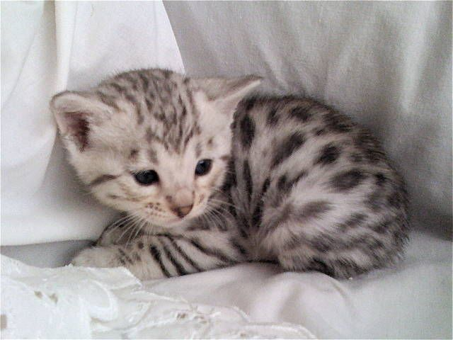 Silver Bengal kitten