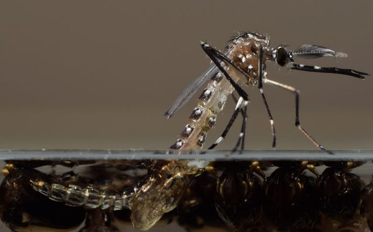 A genetically modified Aedes aegypti mosquito in Oxitec's UK lab. The US Food and Drug Administration is considering releasing the non-biting male Aedes aegypti mosquitoes modified by Oxitec to pass along a birth defect to their progeny, thus killing off the next generation of the mosquitoes that can carry dengue and chikungunya
