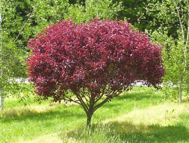 Cistena plum prunus cistena big cis shrubs pinterest for Dwarf flowering trees