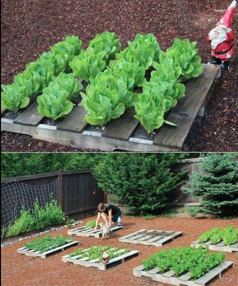 Pallet garden - keeps greens from lying in the dirt!