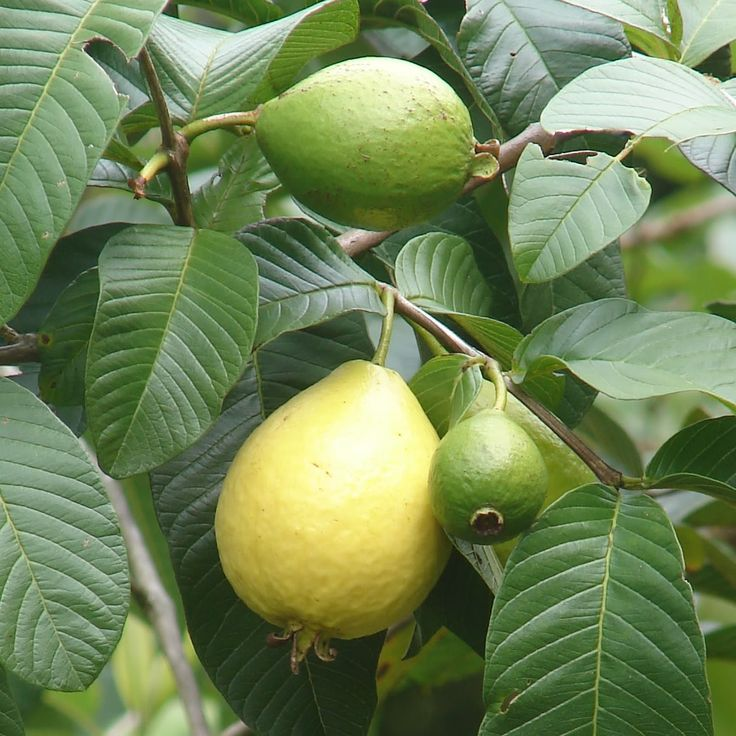 Apple Pink Guava - Psidium guajara Red pulp fruit