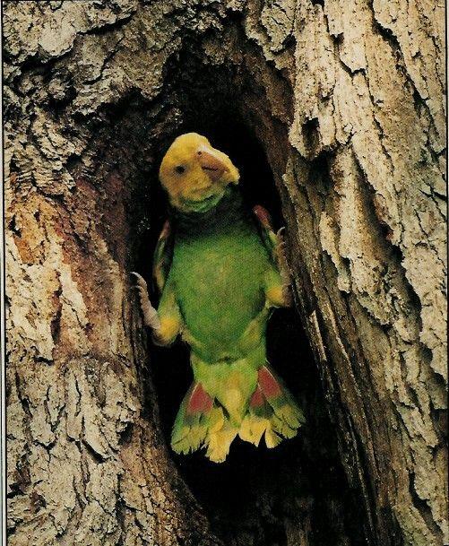 Yellow headed Amazon Parrot