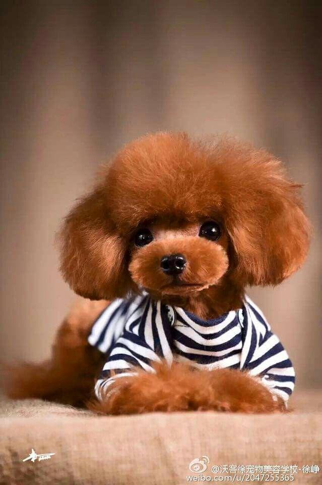 Poodle!  :)