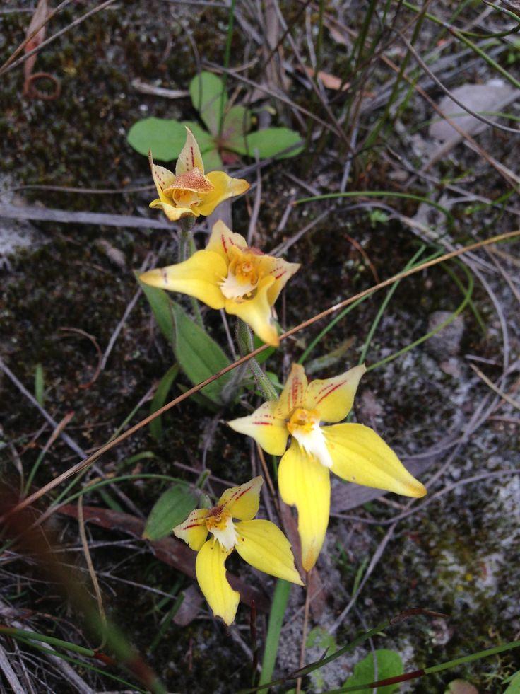 #Wildflowers spotted near the Duke of Orleans Bay, #Esperance.. Western Australia