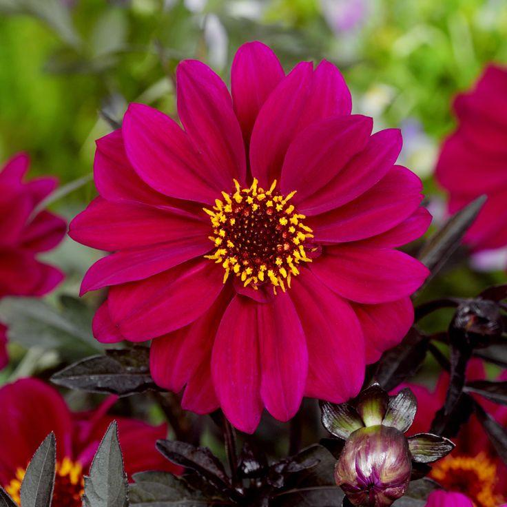 Dahlia Bishop Of Canterbury J Parker Dutch Bulbs Dahlia Summer Flowers Shade Plants
