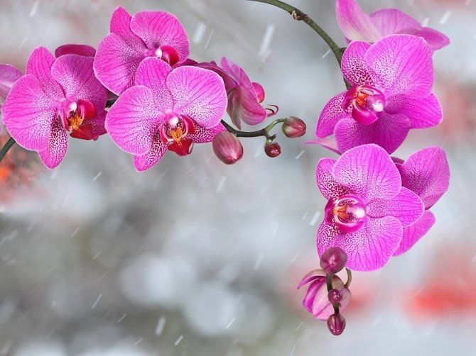 Svarstyklems. Orchideja.